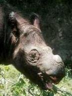 Baby rhino head