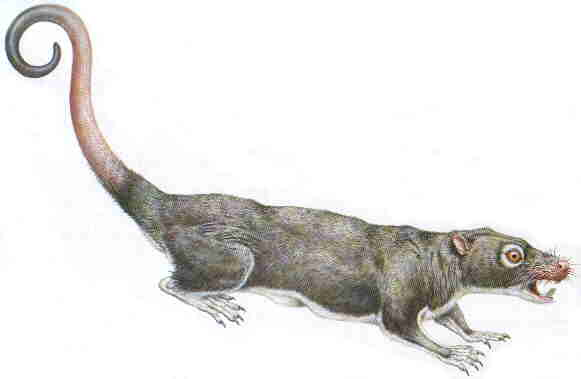 Ptilodus, a multituberculate fossil species