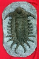 Terataspis  grandis (giant trilobite)