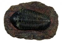 Metacryphaeus limabambae (trilobite)