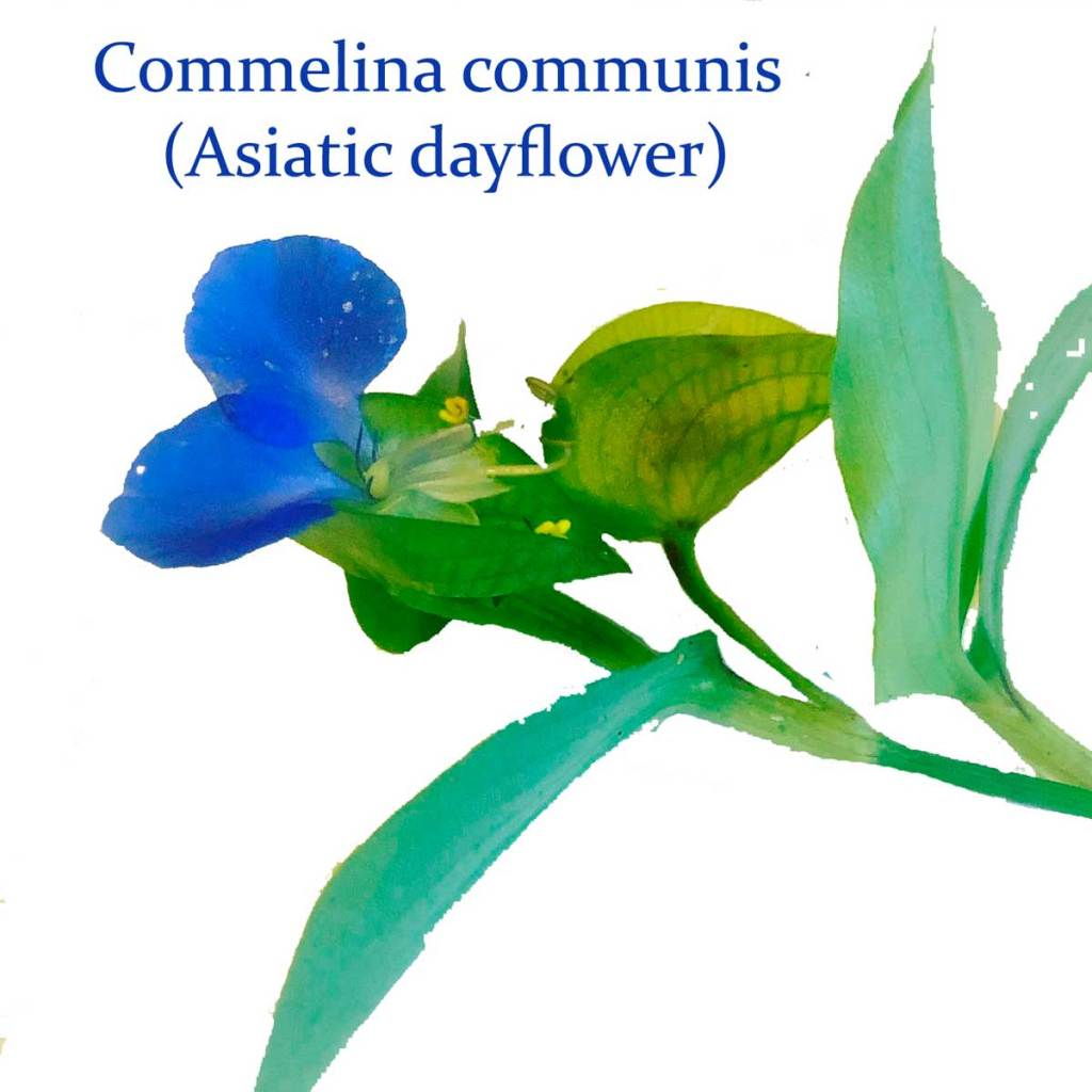 Commelina communis, or Asiatic dayflower, brings the promise of blue to Wild Ozark Paleo Paints.