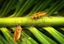 On the News   Mid-Mesozoic beetle in amber stirs questions on rise of flowering plants and pollinators @ Science Daily