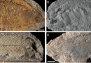 "Just out | Redescription of ""Perleidus"" (Osteichthyes, Actinopterygii) from the Early Triassic of Northwestern Madagascar @ Rivista Italiana di Paleontologia e Stratigrafia"