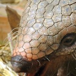 On the News | Descubren en Chile un armadillo con cuernos de hace 11 millones de años @ La Tercera