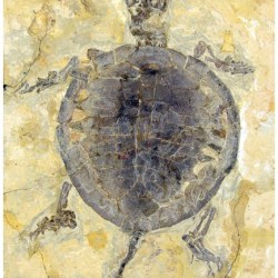 Just out   The first juvenile specimen of Manchurochelys manchoukuoensis from the Early Cretaceous Jehol Biota @ PeerJ