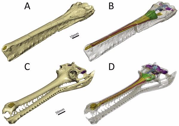 Just out   Virtual reconstruction of the endocranial anatomy of the early Jurassic marine crocodylomorph Pelagosaurus typus (Thalattosuchia) @ PeerJ