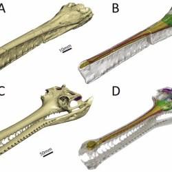 Just out | Virtual reconstruction of the endocranial anatomy of the early Jurassic marine crocodylomorph Pelagosaurus typus (Thalattosuchia) @ PeerJ