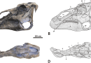 Just out | Supplementary cranial description of the types of Edmontosaurus regalis (Ornithischia: Hadrosauridae), with comments on the phylogenetics and biogeography of Hadrosaurinae @ PLOS one