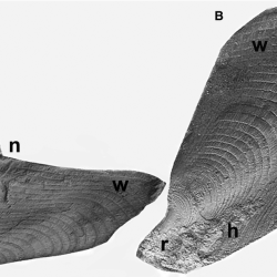 Just out | Beak from the body chamber of an Early Carboniferous shelled longiconic coleoid cephalopod from Arkansas, USA @ Lethaia