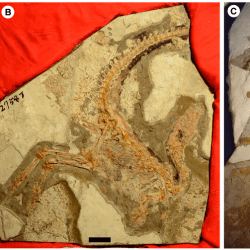 Just out   On the purported presence of fossilized collagen fibres in an ichthyosaur and a theropod dinosaur @ Palaeontology