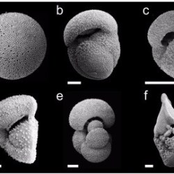 Just out | Calibration of the repeatability of foraminiferal test size and shape measures with recommendations for future use @ Marine Micropaleontology