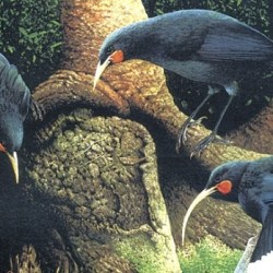 On the News | New Zealand | Huia-like bird could sing from the branches once again, but what are the limits? @ Stuff, The Press