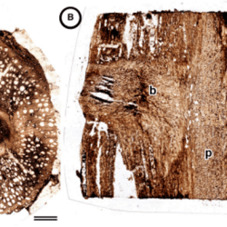 Just out | A liana from the lower Miocene of Panama and the fossil record of Connaraceae @ American Journal of Botany