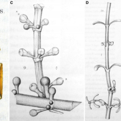 Just out | Diverse early dwarf mistletoes (Arceuthobium), ecological keystones of the Eocene Baltic amber biota @ American Journal of Botany