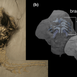 Just out | A three-dimensional placoderm (stem-group gnathostome) pharyngeal skeleton and its implications for primitive gnathostome pharyngeal architecture @ Journal of Morphology