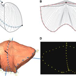 Just out | A three-dimensional geometric morphometric study of the development of sulcus versus shell outline in Permian neospiriferine brachiopods @ Lethaia