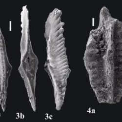 Just out | Discovery of Early Carboniferous conodonts in Northern Kharaulakh Ranges (lower reaches of the Lena River, northeastern Siberia, Arctic Russia) @ Revue de Micropaléontologie