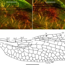 Just out | A new dragonfly family from the mid Cretaceous Burmese amber (Odonata: Aeshnoptera: Burmaeshnidae) @ Cretaceous Research