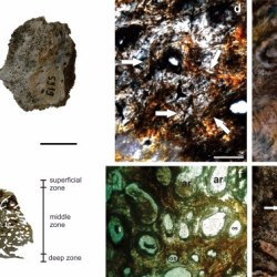 Just out | Comparative paleohistology in osteoderms of Pleistocene Panochthus sp. Burmeister, 1886 and Neuryurus sp.Ameghino, 1889 (Xenarthra, Glyptodontidae) @ Comptes Rendus Palevol