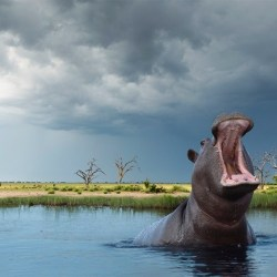 On the News | Teeth tell tale of hippo's quick spread across Africa @ Nature News