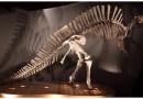 Just out | The Venice specimen ofOuranosaurus nigeriensis(Dinosauria, Ornithopoda) @PeerJ