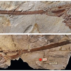 Just out | A fossil unicorn crestfish (Teleostei, Lampridiformes, Lophotidae) from the Eocene of Iran @ PeerJ