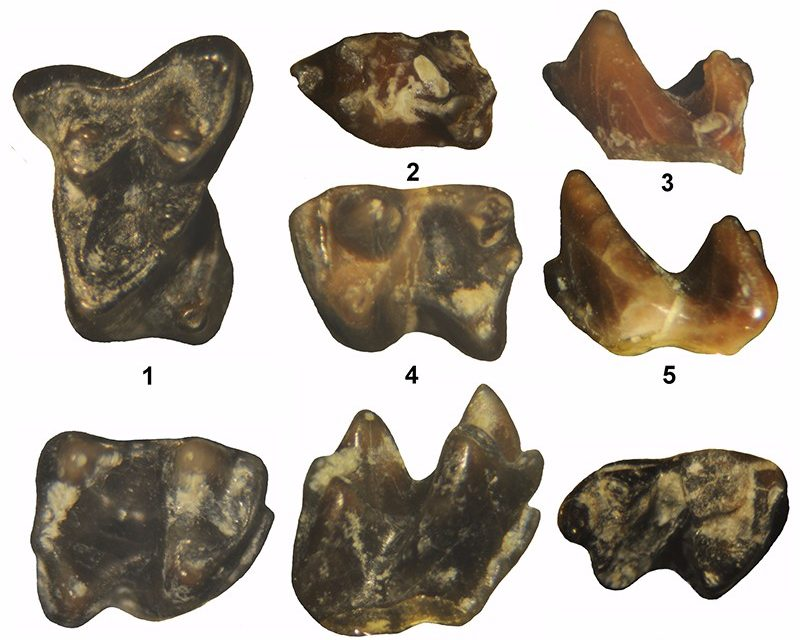 Just out | Mammals from the earliest Uintan (middle Eocene) Turtle Bluff Member, Bridger Formation, southwestern Wyoming, USA, Part 2: Apatotheria, Lipotyphla, Carnivoramorpha, Condylartha, Dinocerata, Perissodactyla and Artiodactyla @ Palaeontologia Electronica