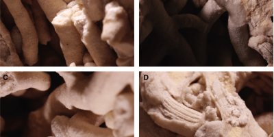 Just out | Ecophenotypic asymmetry in the middle Danian brachiopod Obliquorhynchia flustracea caused by adaptation to attachment on the coral Dendrophyllia candelabrum @ Lethaia