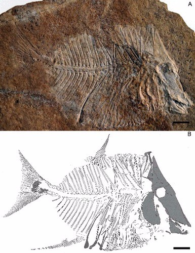 Just out | A new pycnodont fish, Scalacurvichthys naishigen. et sp. nov., from the Late Cretaceous of Israel @ Journal of Systematic Palaeontology