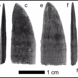 Just out | First record of the knifetooth sawfish Anoxypristis (Elasmobranchii: Rhinopristiformes) from the Pliocene of Tuscany (central Italy) @ Neues Jahrbuch für Geologie und Paläontologie - Abhandlungen