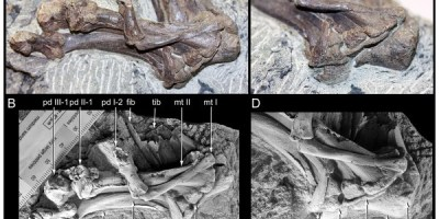 Just out | A new small-bodied ornithopod (Dinosauria, Ornithischia) from a deep, high-energy Early Cretaceous river of the Australian–Antarctic rift system @ Peer J