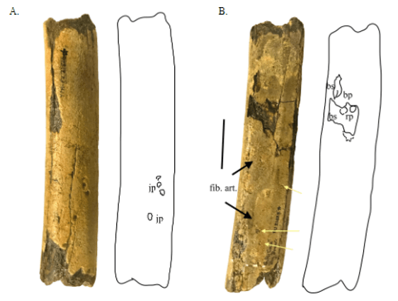 Just out | Theropod hindlimbs with feeding and other traces reveal ecosystem dynamics in the Maastrichtian of eastern North America @ PeerJ Preprint