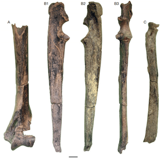 Just out | New sabre toothed Felidae (Carnivora, Mammalia) in the hominid-bearing sites of Toros Menalla (late Miocene, Chad) @Geodiversitas
