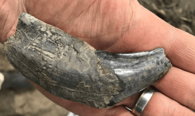 On the News | Canada | Giant beaver teeth, fang from scimitar cat among finds in north Yukon @ CBC