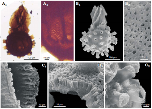 Just out | Salvinialean megaspores in the Late Cretaceous of southern Patagonia, Argentina @Acta Palaeontologica Polonica