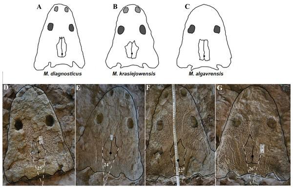 Just out | Ornamentation of dermal bones ofMetoposaurus krasiejowensisand its ecological implications @ PeerJ