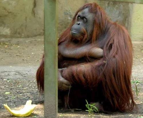 Orangutana Sandra