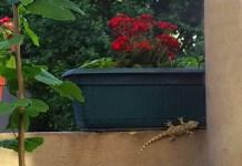 Una lagartija en mi balcón en Palermo