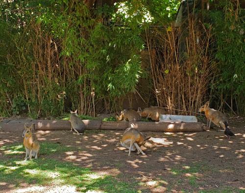 Maras en el Ecoparque porteño