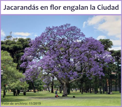Jacarandás en flor dan color a la Ciudad