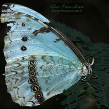 mariposa Panambí Morotí