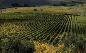 vine in Sicily