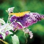 08-revere agri-butterfly