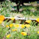 08-revere agri-poppies + lizard
