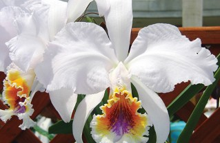 Cattleya Bow Bells