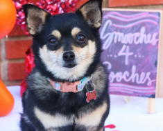 A puppy looking as cute as possible at the Smooches 4 Pooches event. Photo: Twitter.