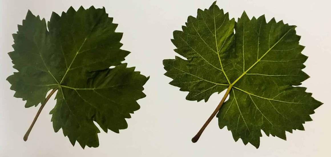 Torbato Leaves