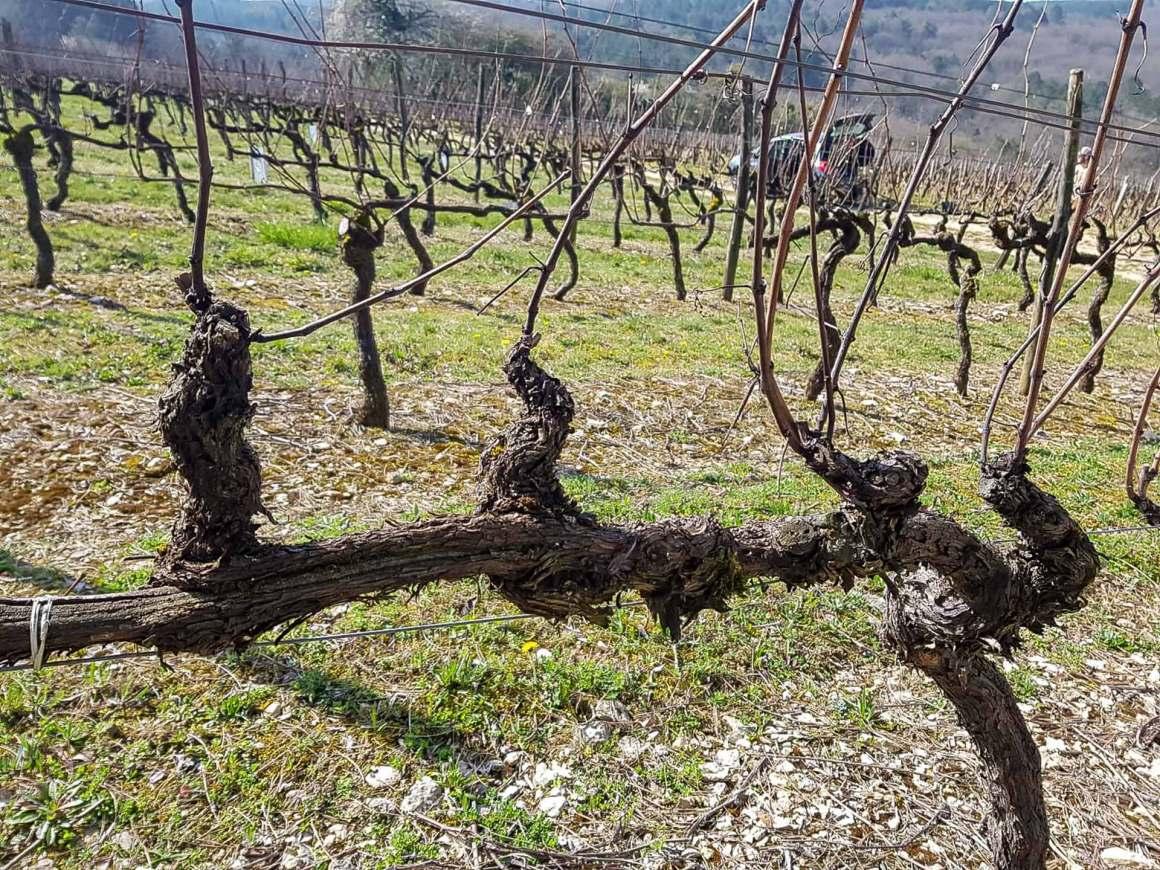 Single Cordon Trained Vine