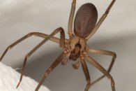 Brown Recluse Spider | Palmetto Exterminators