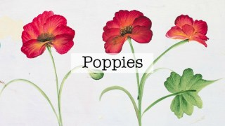 How to Paint a Poppy in Acrylics